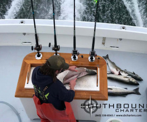 Filleting fresh caught striped bass on Southbound Charters