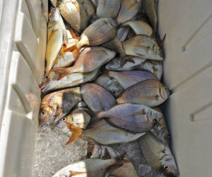 Pile-a-porgy ... Porgy fishing aboard Southbound Fishing Charters