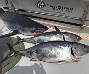 Mako shark and Tuna combo with Southbound Fishing Charters out of Waterford, CT